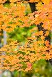 klonowi jesień liść Zdjęcia Stock