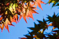 klonowi jesień liść Fotografia Royalty Free