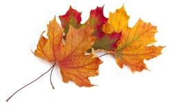 Klonowi jesień liście Obraz Stock