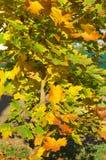 klonowi kolorowi jesień liść Obraz Royalty Free