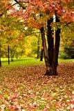 Klonowi liście spadać czerwień puszek Obraz Royalty Free