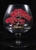 Klonowy Bonsai drzewo w szkle Zdjęcie Stock