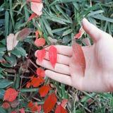 klonowy czerwony drzewo Obrazy Stock
