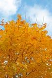 klonowy drzewo Zdjęcia Stock