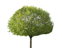 Klonowy Drzewo Obraz Royalty Free