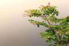 Klonowy drzewo brzeg jeziora Obrazy Stock