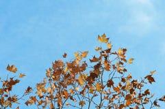 Klonowy drzewo i niebieskie niebo Fotografia Stock