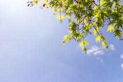 Klonowy drzewo i owoc na niebieskiego nieba tle Zdjęcia Royalty Free