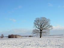 Klonowy drzewo w polu, Lithuania Zdjęcie Stock