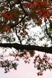 Klonowy drzewo w wieczór zdjęcia royalty free