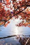 Klonowy drzewo z żółtymi liśćmi nad jeziorem z słońca światłem Zdjęcia Royalty Free
