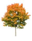 klonowy jesień drzewo Zdjęcia Royalty Free