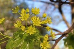 Klonowy kwiatostan w wiosna wieczór zdjęcia royalty free
