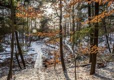 Klonowy las W zimie Zdjęcia Stock