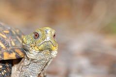 Klonterig, de Doosschildpad Stock Afbeelding