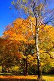 klonu park Zdjęcie Royalty Free