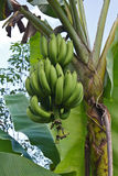 Kluai Hom thong banana Royalty Free Stock Image