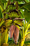 Kluai Namwa Banana of Thailand Stock Images