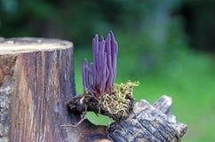 klubba den felika purplen royaltyfri bild