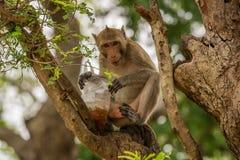 Kluger Affe gerade gekleidet ein Getränk Lizenzfreie Stockfotos