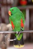 Kluger Papagei Lizenzfreie Stockbilder