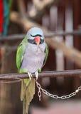 Kluger Papagei Lizenzfreies Stockfoto