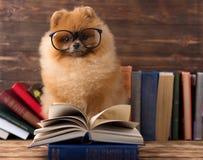 Kluger pomeranian Hund mit einem Buch Ein Hund geschützt in einer Decke mit einem Buch Ernster Hund mit Gläsern Hund in einer Bib Stockbild