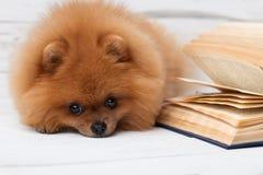 Kluger pomeranian Hund mit einem Buch Ein Hund geschützt in einer Decke mit einem Buch Ernster Hund mit Gläsern Hund in einer Bib Lizenzfreies Stockfoto