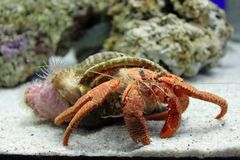 Kluizenaarkrab in een aquarium royalty-vrije stock foto