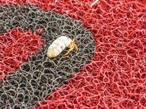Kluizenaarkrab op een rood-zwarte plastic mat in de Dominicaanse Republiek royalty-vrije stock afbeeldingen