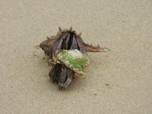 Kluizenaarkrab op het zandige strand Stock Fotografie