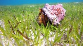 Kluizenaarkrab (Pagurus SP ) in zijn shell, de Maldiven stock footage
