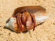 Kluizenaarkrab in shell op een zandstrand Stock Afbeeldingen