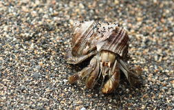 Kluizenaarkrab in shell op strand, Corcovado, Costa Rica Stock Afbeelding