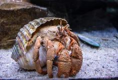 Kluizenaarkrab uit shell Stock Afbeelding
