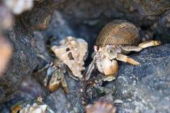 Kluizenaarkrabben in Costa Rica Royalty-vrije Stock Afbeeldingen