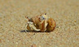 Kluizenaarkrabben die op zandstrand koesteren. Stock Foto's