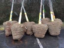 Klumpa ihop sig och Burlapped träd Fotografering för Bildbyråer