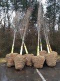 Klumpa ihop sig och Burlapped träd Royaltyfria Bilder