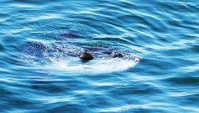 Klumpfisk som ytbehandlar i Atlanticet Ocean i Maine Arkivfoto