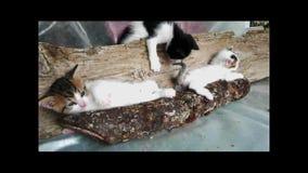 Klumpiga unga kattungar som spelar i vedtrave lager videofilmer