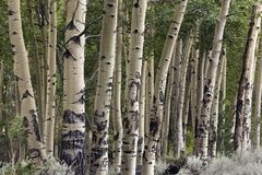 Klunga av asp- träd, Wyoming royaltyfria bilder