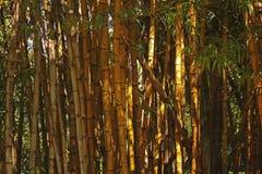Klunga av bambuväxter arkivfoto