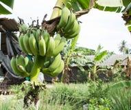 Klunga av bananfrukter Royaltyfri Foto