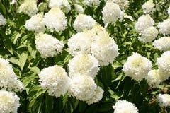 Klunga av blommande vita Annabelle Flowers Royaltyfri Bild