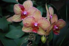 Klunga av blomningrosa färg- och elfenbenorkidér i blom arkivbilder