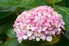Klunga av den rosa vanliga hortensian Arkivbild
