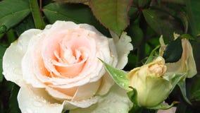 Klunga av elfenben Rose Buds, gräsplansidor och långa stammar arkivbild