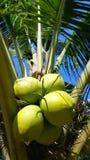 Klunga av gröna kokosnötter på kokospalmen Royaltyfria Bilder
