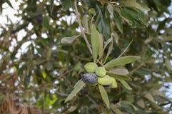 Klunga av gröna och svarta oliv Arkivbilder